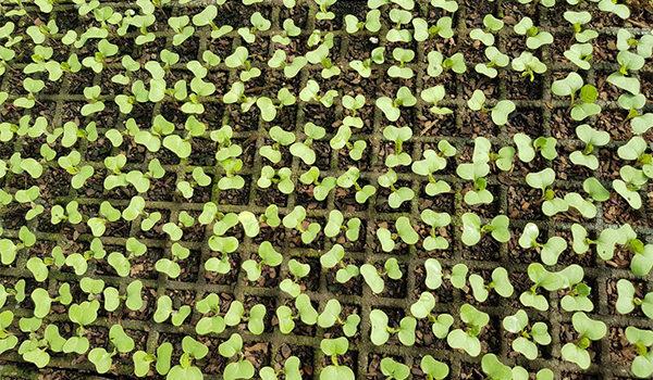 seedling 1